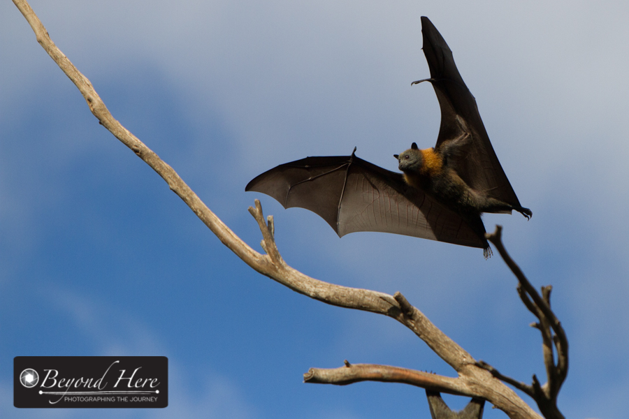 Fruit bat in mid air