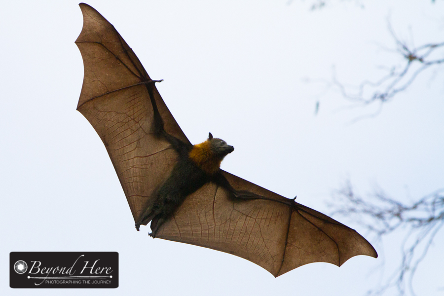 fruit bat flying